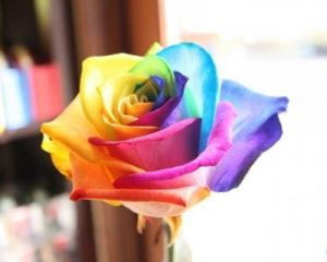 Colorful Rose Seed